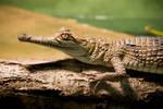 freshwater crododile