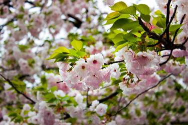 Tokyo sakura blossoms