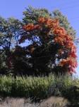 Burning bush of Autumn