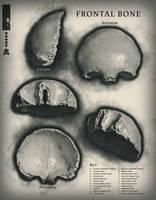 Frontal Bone Study