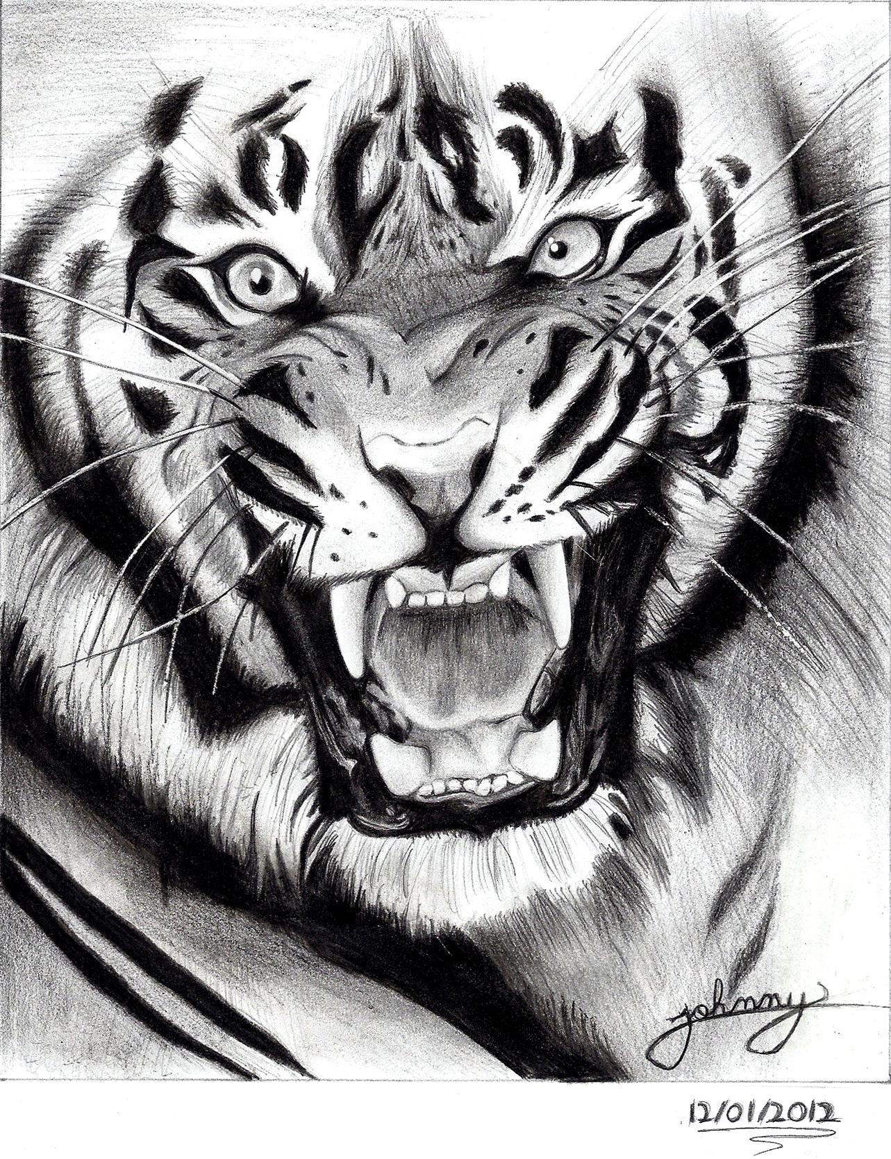 tiger drawing by Johnny-Designer on DeviantArt