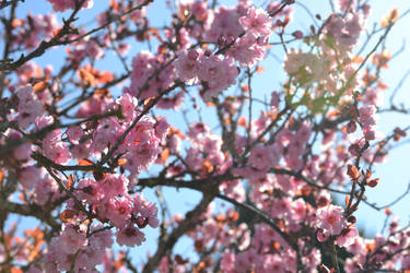 Blossoms by cyddy