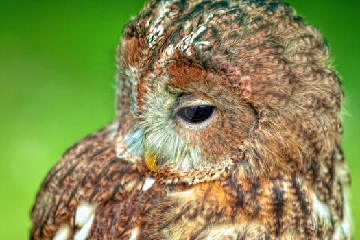 Brown-Owl_III