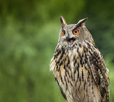 Eagle_Owl_VI by deoroller