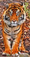 Sumatran Tiger by deoroller