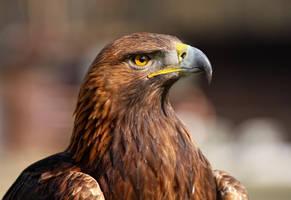 golden Eagle_XXI by deoroller