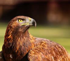 golden eagle_IV by deoroller