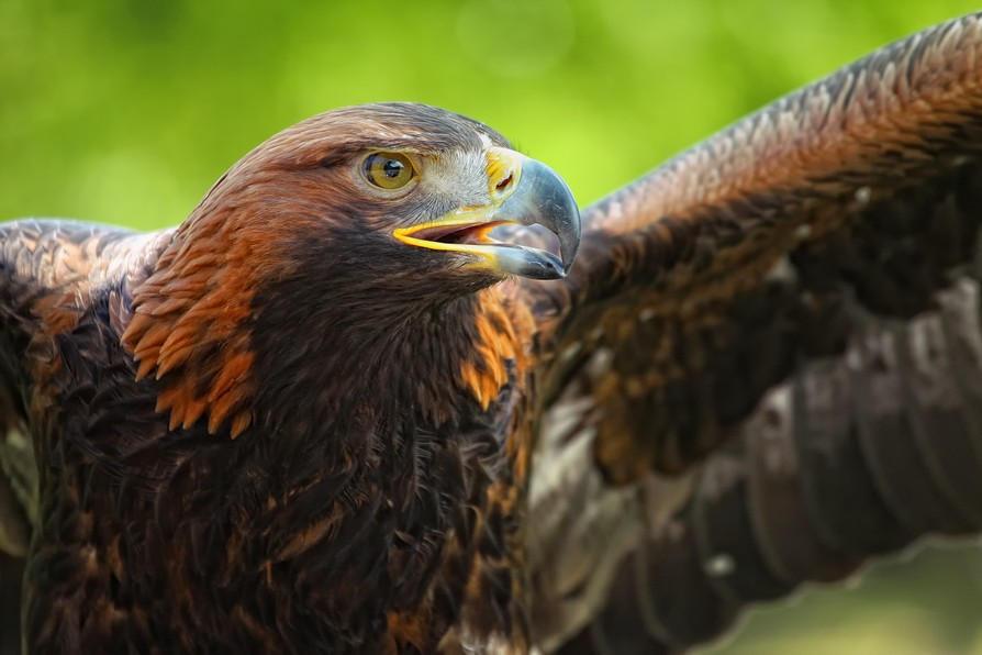 eagle_V