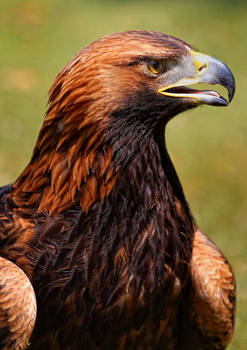 portrait of an eagle_III