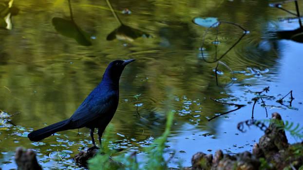 Black Bird Bathing