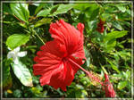 A Red Hibiscus by Zazi-chan