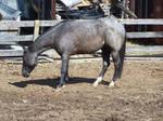Blue Roan Quarter Horse - 02