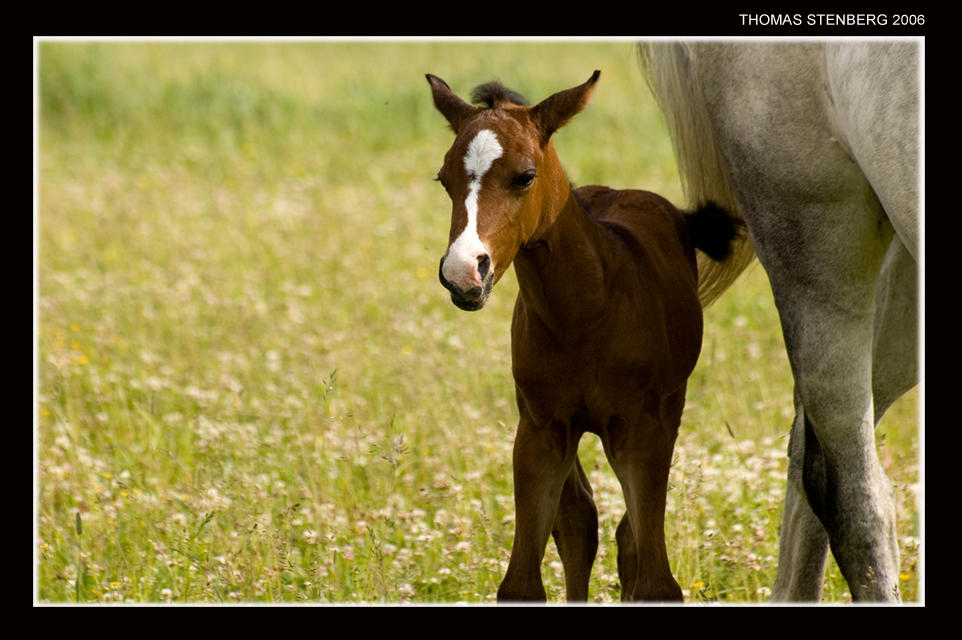 Foal by tomba76