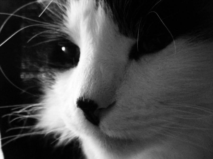 Gray-scale Cat by DarkNinjaZelda