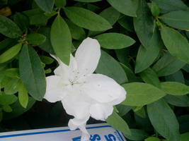 White Flower by DarkNinjaZelda