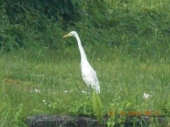 Avian _ Bird _ Great Egret 2 by K4nK4n