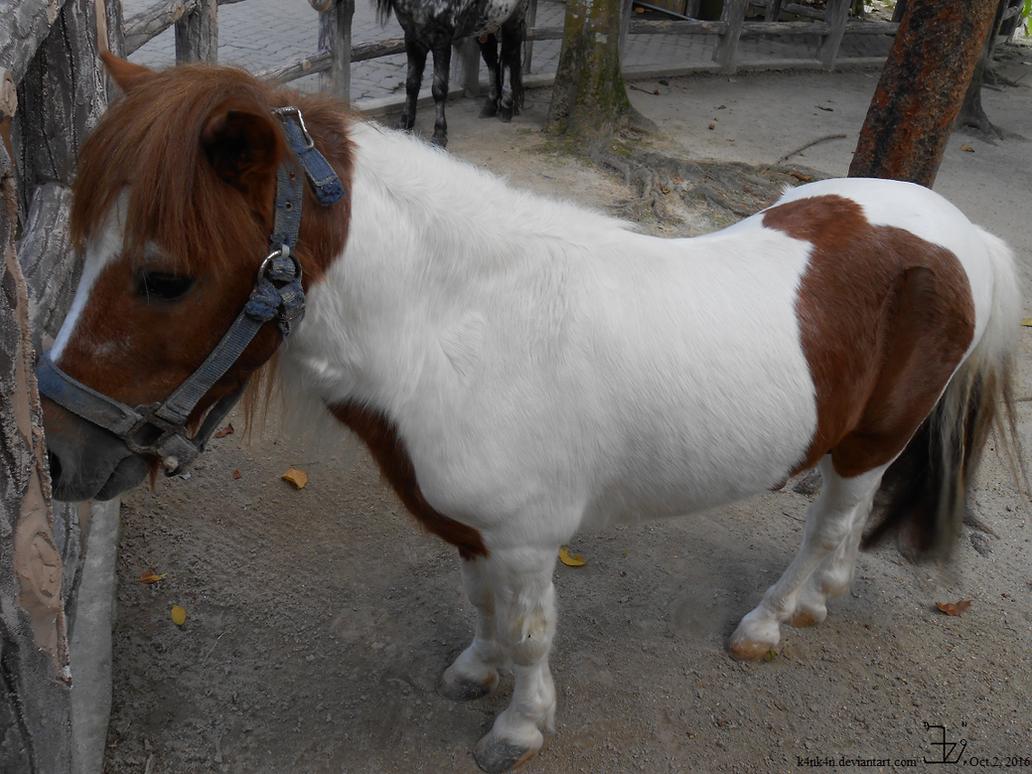 zoo_negara___miniature_horse___20161002b