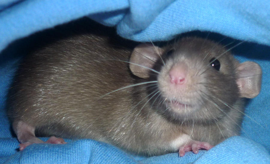 Уход за крысой в домашних условиях дамбо 914
