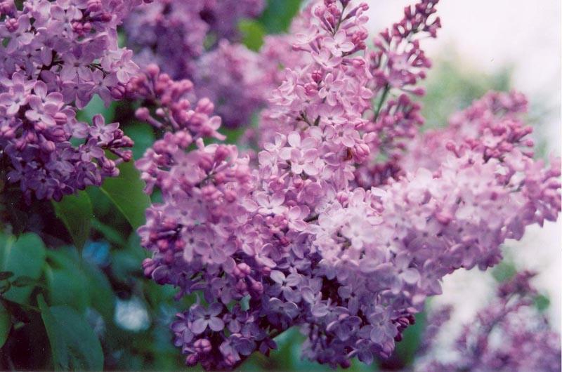 lilacs by xblackbutterflyx