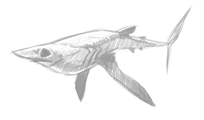 Mako Shark Draw...