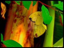 Butterfly Romance