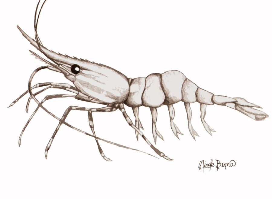 Awesome Mantis Shrimp Anatomy Elaboration - Anatomy Ideas - yunoki.info