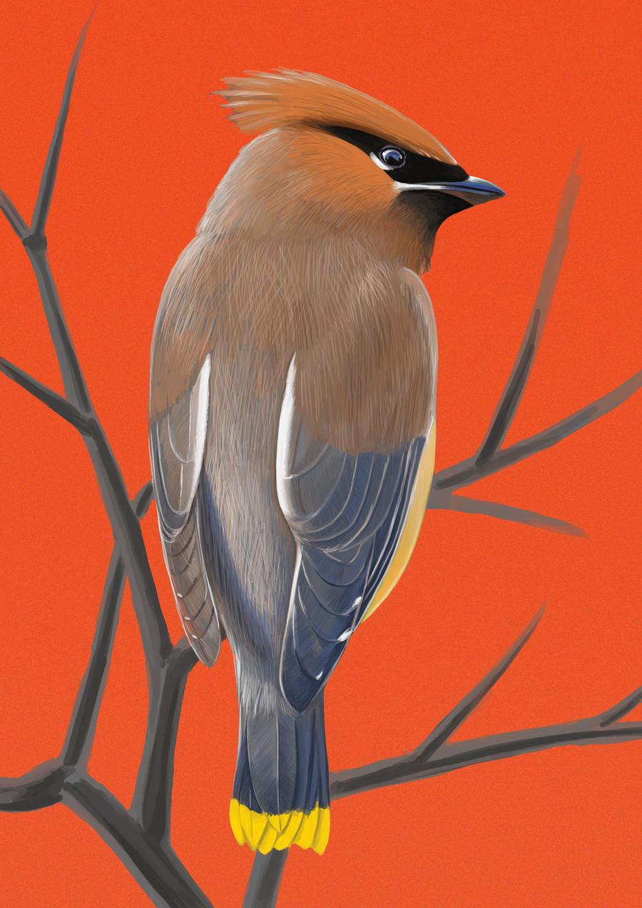 Cedar Waxwing - Orange by MissMondayMorning