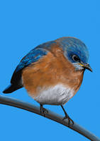 Eastern Bluebird by MissMondayMorning