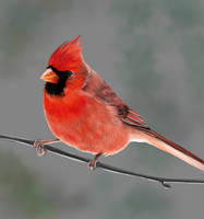 Northern Cardinal - Grey by MissMondayMorning
