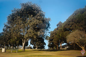 Trees in a Park In Santa Monica California