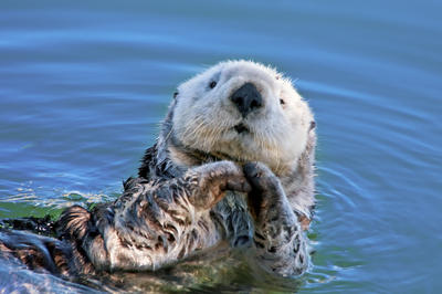 Sea Otter 36814 by hfpierson