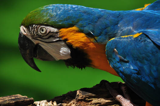 Golden Blue Macaw from another angle