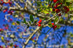 Yaupon Holly Berries by Daemare