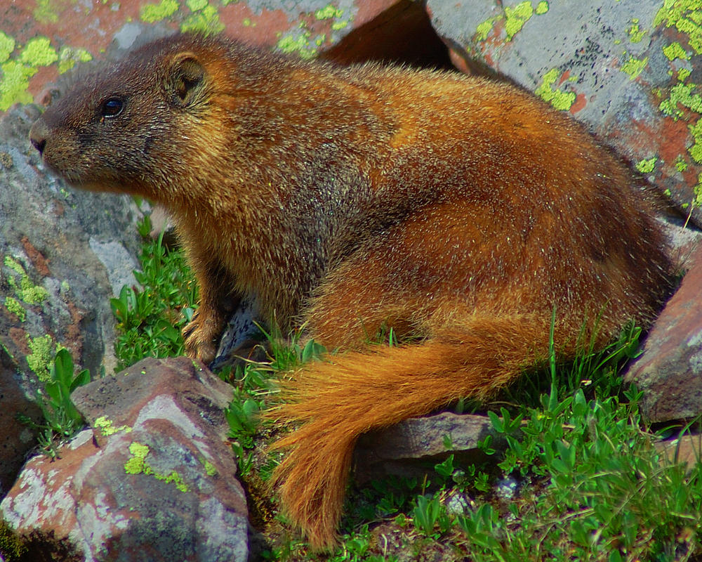 A Varmit of a Marmot by greenunderground