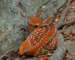 Fawning of a Fawn