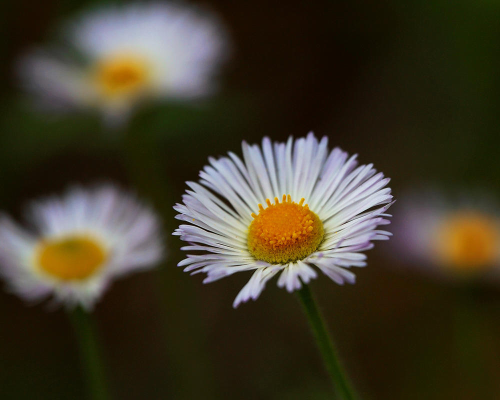 Sprawling Daisies Dancing by greenunderground
