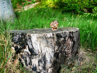Tree stump with mushroom _ Baumstumpf mit Pilz