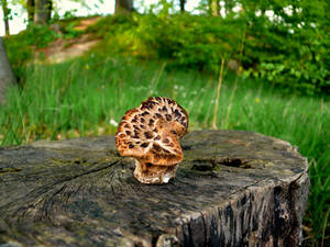 Tree stump with mushroom _ Baumstumpf mit Pilz2
