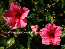 Pink Hibiscus 3 by Stickfishies-Stock