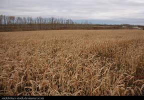 Corn Field 1 by Stickfishies-Stock