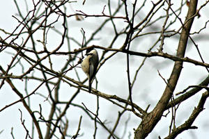 Southern Carolina Chickadee by Zach-Bowie