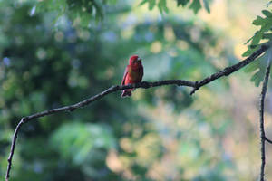 Summer Tanager by Zach-Bowie