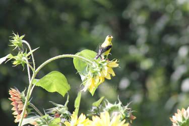 Goldfinch Feeding at Sunflower