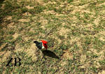 Red-crested Cardinals by Zach-Bowie