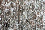 American Tree Sparrows by Zach-Bowie