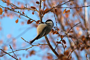 Upside down Chickadee by Zach-Bowie