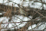 House Sparrow by Zach-Bowie
