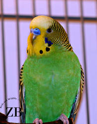 Little Parakeet