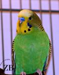 Little Parakeet by Zach-Bowie