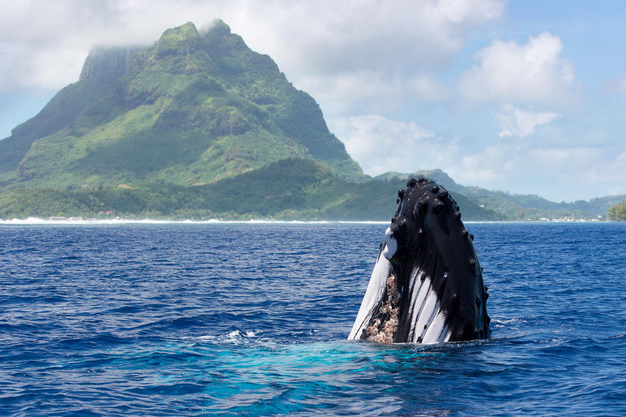 Humpback whale in front of Bora Bora by JohnyG